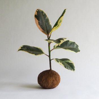 Rubberboompje Kokedama M